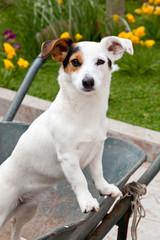 Ritratto Jack Russell