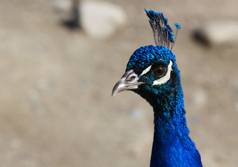 Close up Blue Peacock head