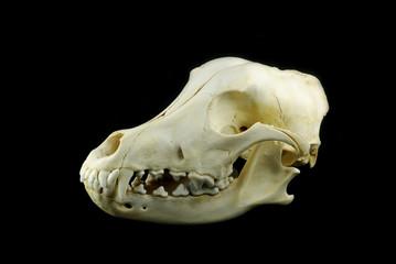 Dog skull