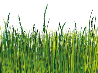 Grass. Vector illustration. EPS10