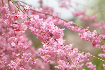 八重紅枝垂桜  Double Cherry Blossoms