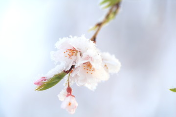 雪の枝垂桜 Drooping Cherry and Snow