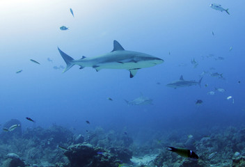 school of large caribbean reef sharks, roatan, honduras