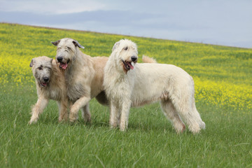 three irish wolfhound playing outside