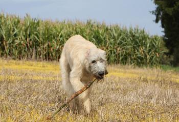 irish wolfhound avec un bout de bois dans la gueule
