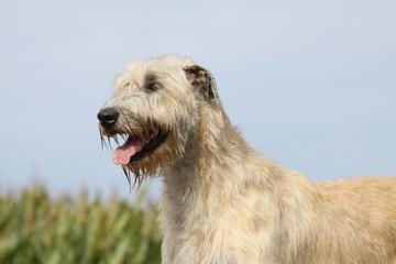 irish wolfhound gueule ouverte