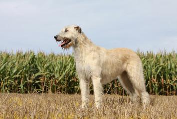 position digne et majestueuse de l'irish wolfhound