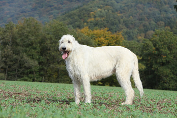 chien de profil dans paysage campagnard