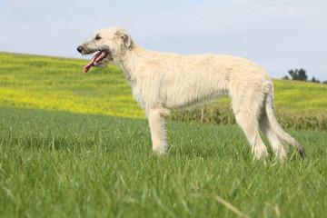 irish wolhound en position standard
