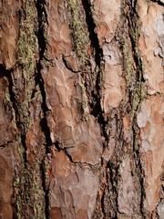 close up of pine tree bark