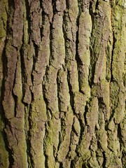 close up of elm tree bark