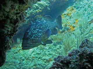 Dusky grouper fish underwater, Mediterranean sea, Costa Brava, Catalonia, Spain