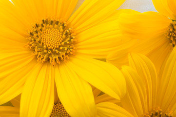 mexican-sunflower