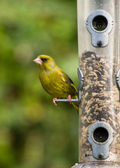 Greenfinch on bird feeder