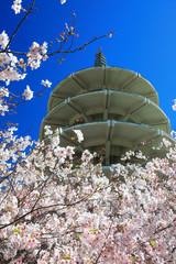 Japan Center Peace Pagoda & Cherry Blossom Of San Francisco