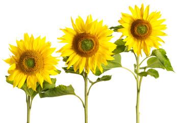Drei Sonnenblumen auf weiss