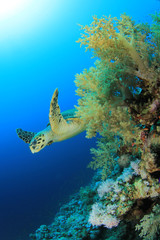 Coral reef and Hawksbill Turtle