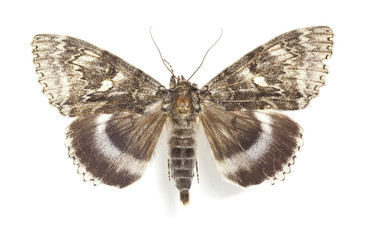 Blue underwing (Catocala fraxini) isolated on white background