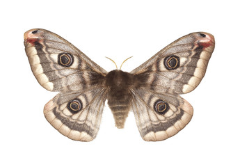 Small emperor moth (Saturnia pavonia) isolated on white