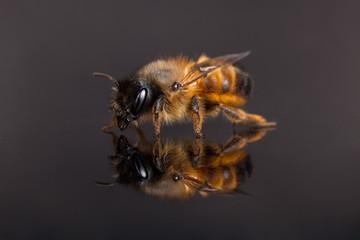 Biene vor dunklem Hintergrund