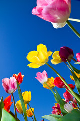 Fototapete - Tulips in blue heaven