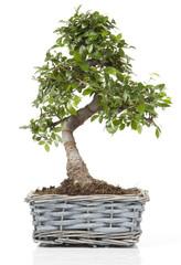 bonsaï dans pot en osier bleuté