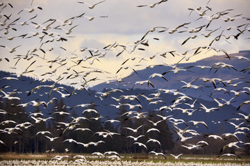Thousands of Snow Geese Flying and Taking Off