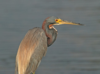 Tricolor Heron in the Outer Banks