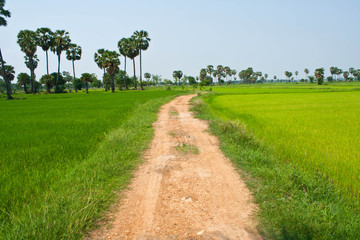 Rice field and sugar palms, Thailand
