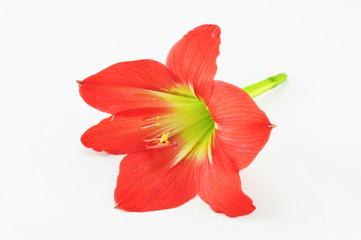 Amaryllis Hippeastrum Isolated on white background, Star Lily