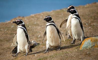 Four Magellanic penguins walking