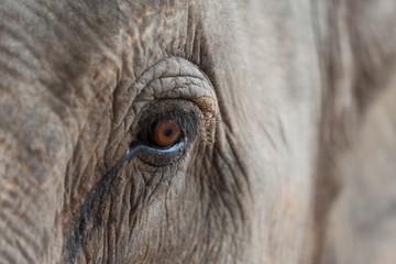 Auge vom Elefanten Nahaufnahme