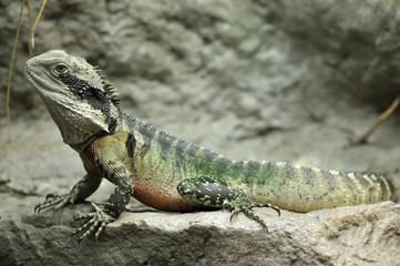 eastern water dragon, full length , sydney, australia