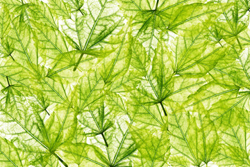 Fresh background with transparent green leaves