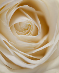 Pastelfarbene Rose