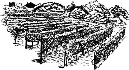 vineyard hand drawing