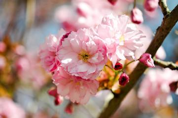 Sakura. Zarte Schönheit