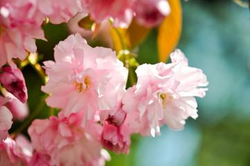 Sakura. Zarte Schonheit
