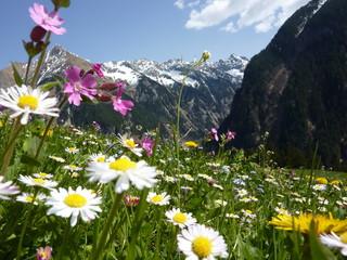 Fototapete - Blumenwiese mit Gebirge im Hintergrund