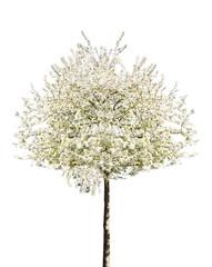 arbre en fleurs au Printemps Détouré