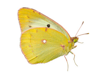 Butterfly (Colias polyographus) 5