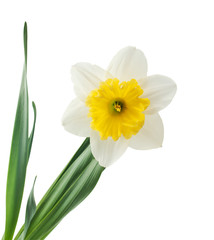 Photo sur Aluminium daffodil flower