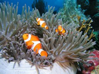 Anemonenfisch Clownfish Nemo
