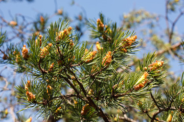Pine-tree branch with fresh pinecones