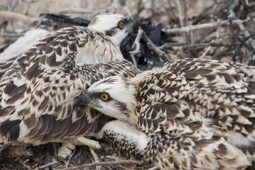 Osprey chicks in a nest
