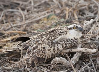 Osprey chick in a nest