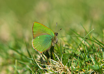 Green Hairstreak Butterfly (Callophrys rubi)