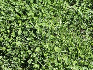Klee und Rasen...