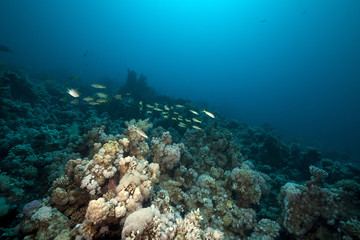 snappers and coral in the Red Sea.