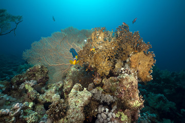 Seafan and anemone in the Red Sea.